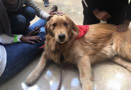 A therapy doges is being petted by students.